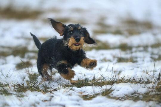 Mini Dachshund mit fliegendem Ohr im Schnee