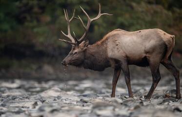 Bull Elk Crossing a Creek