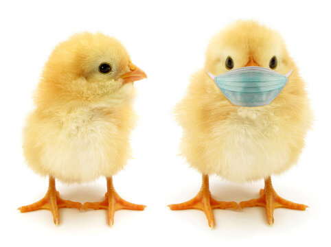 Two chicks only one wearing face mask often epidemic scene