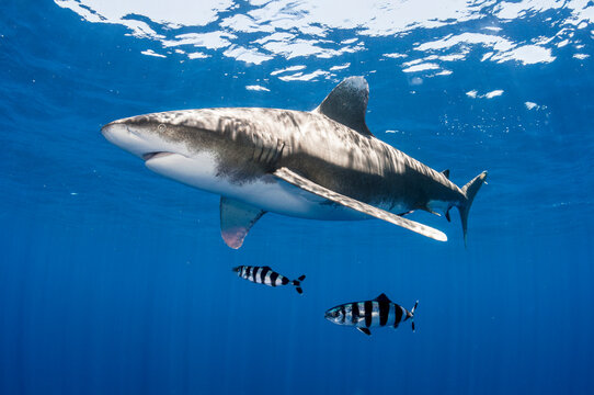 Oceanic Whitetip Shark With Pilot Fish