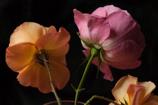 Delicate roses against black background