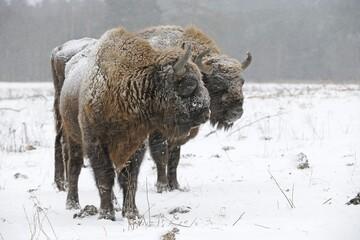 European bisons (Bison bonasus), in a heavy snowstorm
