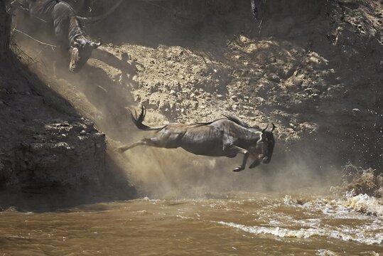 Gnu, Blue Wildebeest (Connochaetes taurinus), gnu migration, gnus jumping into the Mara River, Masai Mara, Kenya, Africa