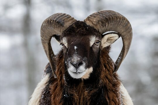 European mouflon (Ovis orientalis musimon), Aries stands in the snow, animal portrait, Vulkaneifel, Rhineland-Palatinate, Germany, Europe