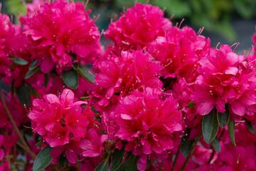 Blooming pink azalea flowers in a garden