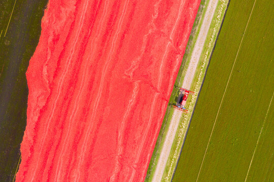 Aerial drone view looking down on a tractor driving beside a bright red bog of cranberries ready for harvest on a cranberry farm