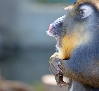 Colorful mandrill baboon