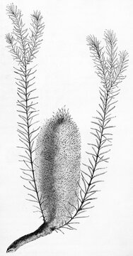 Isolated botanic element of Swamp Banksia (Banksia robur) on white background. Ancient grey tone etching style art by Rouier and Manini, Le Tour du Monde, Paris, 1861