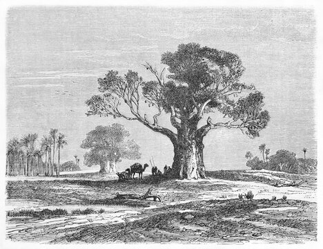 Big single Baobab (Adansonia digitata) on a flat land making shadow to camel caravan in Cape Verde. Ancient grey tone etching style art by B�rard, Le Tour du Monde, Paris, 1861