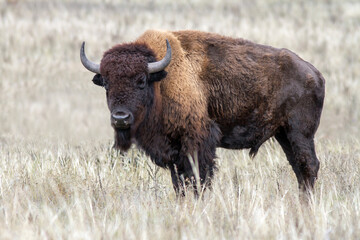 American bison in dry steppe.
