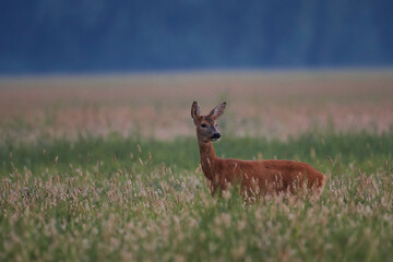 Female roe deer in meadow in summer mornig, Danube wetland, Slovakia, Europe