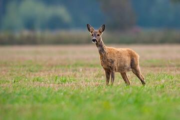 Photo sur Plexiglas Roe roe deer eating , wild roe deer walking around