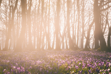 Amazing nature landscape, misty and sunny flowering forest with a carpet of wild violet crocus or saffron flowers, early spring in Europe
