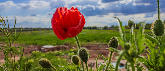 Red poppy close-up on a green field background