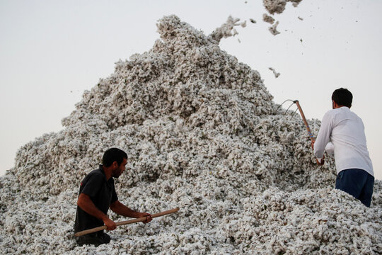 Workers stack harvested cotton at a cotton purchase station near the town of Agjabedi