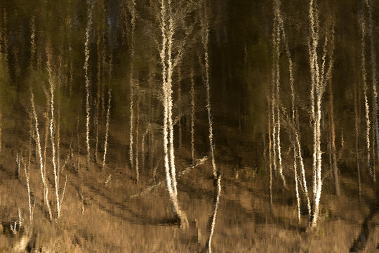 blurred reflection in water trees, birch trees in autumn