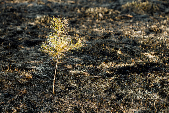 a lonely young pine tree on a field that burned down