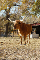 Wall Mural - Texas longhorn cow portrait, standing in autumn field with fall season trees in background.