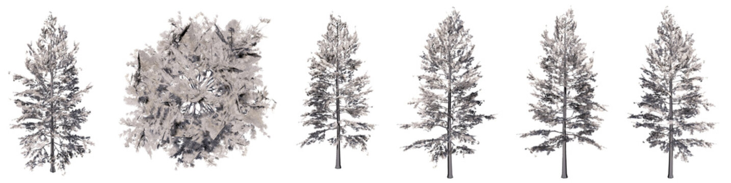 Set or collection of drawings of Pine group  trees isolated on white background . Concept or conceptual 3d illustration for nature, ecology and conservation, strength and endurance, force and life
