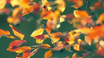 Wall Mural - Colorful yellow red orange autumn leaves on cool green background. Shallow DOF, 4K  UHD.