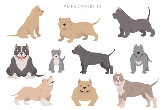American bully dogs set. Color varieties, different poses. Dogs infographic collection