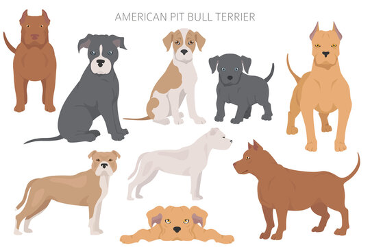 American pit bull terrier dogs set. Color varieties, different poses. Dogs infographic collection