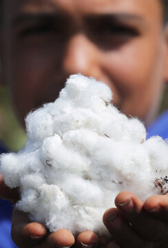 A boy holds cotton in a field in the province of Al-Sharkia northeast of Cairo