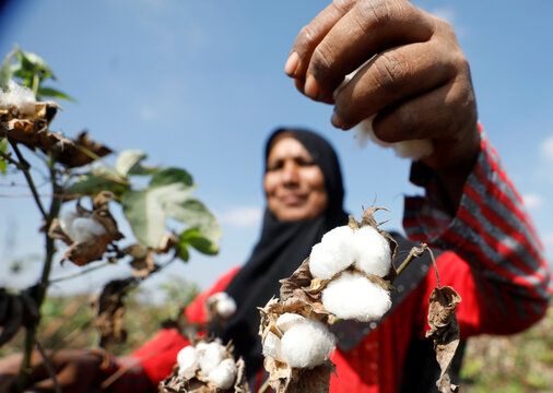 A farmer harvests cotton in a field in the province of Al-Sharkia northeast of Cairo