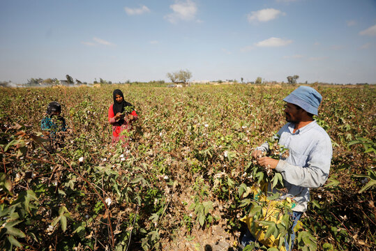 People harvest cotton for 5 $ per day in a field in the province of Al-Sharkia northeast of Cairo