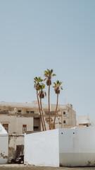 wysokie palmy na Lanzarote Wyspy Kanaryjskie
