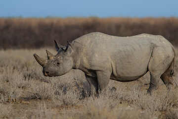 Black rhino bull walking on the plains in Etosha National Park in Namibia