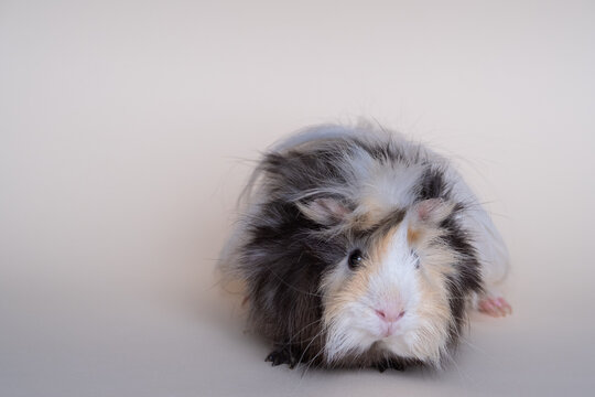 portrait of cute guinea pig on a light background