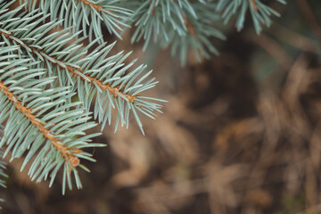 Obraz close-up photo of blue spruce branches. approach of winter. coniferous trees - fototapety do salonu