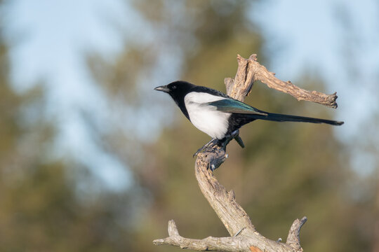 Magpie (Pica pica) perched on a dry tree branch