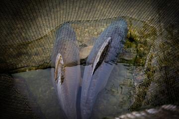 Fisch im Netz - fish in the net