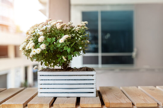Blossoming white chrysanthemum flower in wooden pot box stand on wood bench near residential or office building against wall and window. Plant decoration of urban city street.