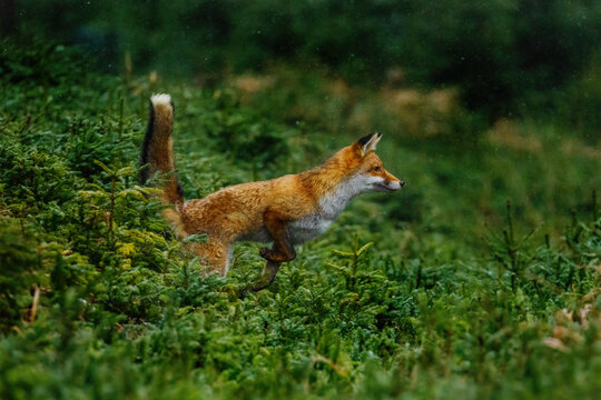 Jump. Red fox, Vulpes vulpes, jumping in green forest habitat. Orange fur coat animal with fluffy tail in snowfall. Action scene from nature. Wildlife scene from Europe. Fox is clever beast.