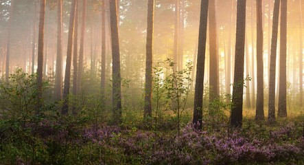 Picturesque scenery of the evergreen woodland in a fog at sunrise, forest floor of blooming heather...