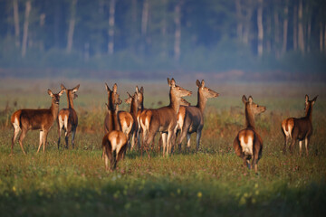 A roe deer family walks through a green field in the early mornings