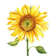 Fototapeta Sunflower, yellow flower isolated on white background, watercolor botanical illustration, hand drawing