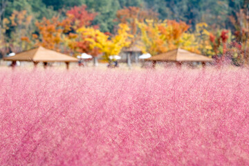 Blooming Pink mulley in Korea