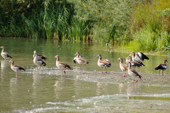 Lots of geese together near water in a nature