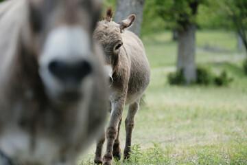 Mini donkeys playing on farm, with donkey friend blurred foreground.
