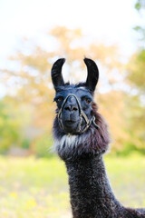 llama portrait close up looking at camera with fall season color blurred background on farm.