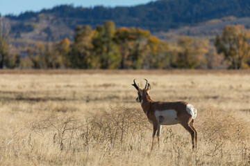 Pronghorn Antelope Buck in Autumn in Wyoming