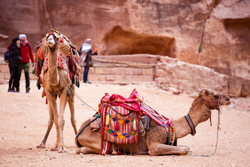 Stunning view of two camels posing in front of the Al Khazneh (The Treasury) in Petra. Al-Khazneh is one of the most elaborate temples in Petra, Jordan.