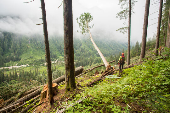 Rear view of man felling old growth trees in forest