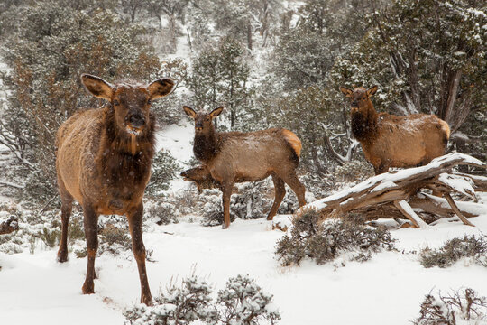 Elks walking in forest during snowfall