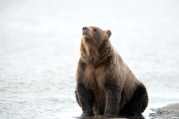 Grizzly bear sniffing air while sitting in water
