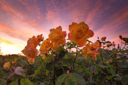 Close up of yellow roses blooming during sunset